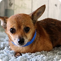 Chihuahua Mix Dog for adoption in Waldorf, Maryland - Pudge