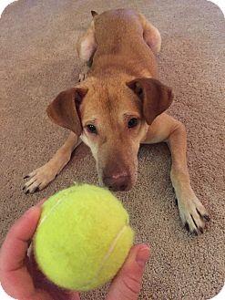 Labrador Retriever/Shar Pei Mix Dog for adoption in Los Angeles, California - Gunner-URGENT