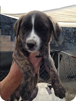 Belgian Malinois/Bull Terrier Mix Puppy for adoption in BONITA, California - Portia