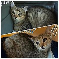 Adopt A Pet :: Deva - Plantsville, CT