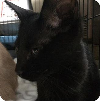 Domestic Shorthair Kitten for adoption in Cheltenham, Pennsylvania - Hope