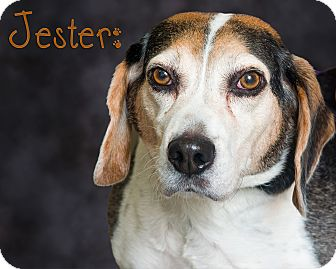 Beagle Mix Dog for adoption in Somerset, Pennsylvania - Jester