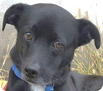 Springer Spaniel Mix Dog for adoption in Bloomington, Illinois - Sparrow