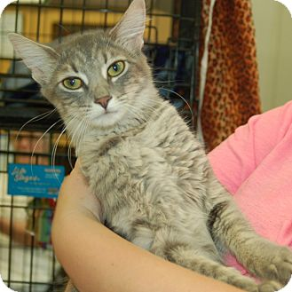 Domestic Mediumhair Cat for adoption in Great Mills, Maryland - Calli