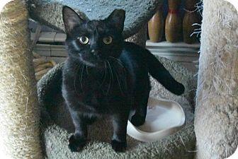 Domestic Shorthair Cat for adoption in New  York City, New York - Macy
