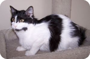 Domestic Mediumhair Cat for adoption in Colorado Springs, Colorado - Norma Jean