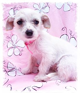 Westie, West Highland White Terrier/Terrier (Unknown Type, Small) Mix Puppy for adoption in El Cajon, California - BONNIE