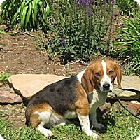 Adopt A Pet :: Scamp - Stilwell, OK