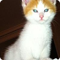 Adopt A Pet :: Creamsickle - Reston, VA
