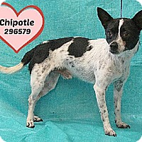 Adopt A Pet :: A296579 Chipotle (aka 'Louis') - San Antonio, TX