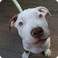 Adopt A Pet :: Bettie - bridgeport, CT