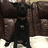 Labrador Retriever Mix Dog for adoption in Colmar, Pennsylvania - Sage - Chase