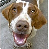 Adopt A Pet :: Ashlynn - Springdale, AR