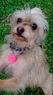 Yorkie, Yorkshire Terrier/Terrier (Unknown Type, Medium) Mix Dog for adoption in Decatur, Alabama - Bandit and Shanka