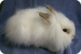Lionhead Mix for adoption in Harrisburg, Pennsylvania - Ringo