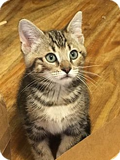 Domestic Shorthair Kitten for adoption in Nashville, Tennessee - Fenway