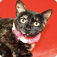 Domestic Shorthair Cat for adoption in Jackson, Michigan - Solo