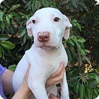 Adopt A Pet :: Haircut Pup - Ponytail - Adopted! - San Diego, CA