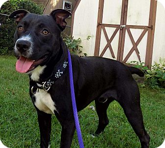 Pit Bull Terrier/Labrador Retriever Mix Puppy for adoption in Lancaster, Pennsylvania - Louie