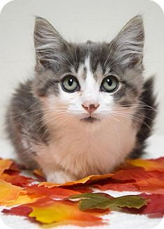 Domestic Mediumhair Kitten for adoption in Dublin, California - Emmett