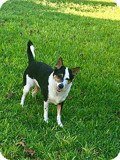 German Shepherd Dog/Blue Heeler Mix Dog for adoption in Denver, Colorado - Riot