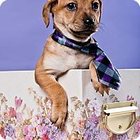 Adopt A Pet :: Augie - Houston, TX