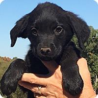 Adopt A Pet :: Hazel - Hagerstown, MD