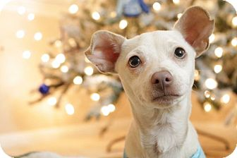 Dachshund/Jack Russell Terrier Mix Puppy for adoption in La Verne, California - Snowball