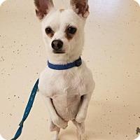 Adopt A Pet :: Finn AKA Snowball - Crossville, TN