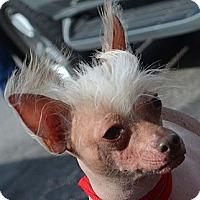 Adopt A Pet :: Tweak-Adoption pending - Bridgeton, MO