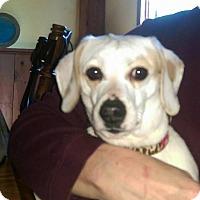 Adopt A Pet :: Bella - Charlestown, RI