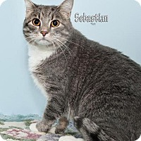 Adopt A Pet :: Sebastian - Fort Mill, SC