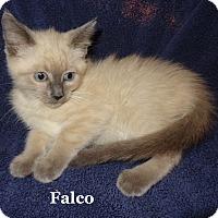 Adopt A Pet :: Falco - Bentonville, AR