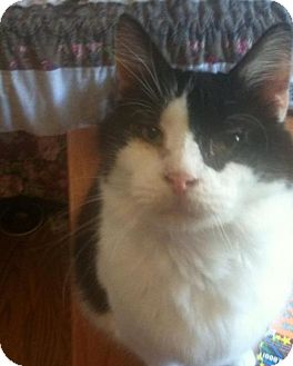 Domestic Longhair Cat for adoption in New Bedford, Massachusetts - Kingston
