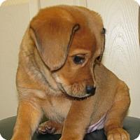 Adopt A Pet :: Lewis - Charlemont, MA