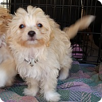 Adopt A Pet :: Blondie-ADOPTION PENDING - Bridgeton, MO