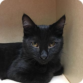 Domestic Shorthair Kitten for adoption in Westminster, California - Fjord