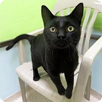 Domestic Shorthair Cat for adoption in Janesville, Wisconsin - Shadow