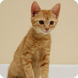Domestic Shorthair Kitten for adoption in Long Beach, New York - Milo
