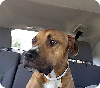 Pit Bull Terrier/Boxer Mix Dog for adoption in Columbus, Ohio - Joey