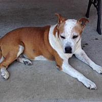 Australian Cattle Dog/Pit Bull Terrier Mix Dog for adoption in Forreston, Texas - Sammy