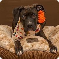 Terrier (Unknown Type, Medium) Mix Dog for adoption in Flint, Michigan - Cupcake