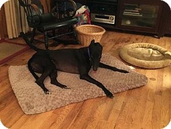 Greyhound Dog for adoption in Spencerville, Maryland - Chico