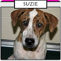 Retriever (Unknown Type) Mix Dog for adoption in Williamsburg, Virginia - SUZIE