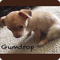 Adopt A Pet :: Gumdrop - Allen, TX