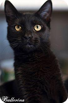 Domestic Shorthair Kitten for adoption in Manahawkin, New Jersey - Ballerina