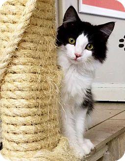 Domestic Shorthair Kitten for adoption in San Angelo, Texas - Bandit