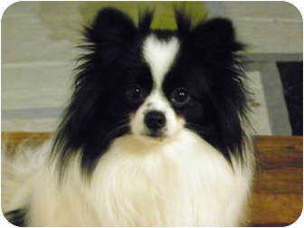 Pomeranian Dog for adoption in Hesperus, Colorado - ROMEO