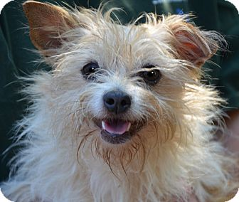 Bonnie | Adopted Dog | Londonderry, NH | Yorkie, Yorkshire ...