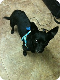 Chihuahua Mix Dog for adoption in Phoenix, Arizona - Molly